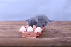 Kitten playing with eggs. Dirty farm eggs and a British Shorthair kitten running around Stock Images