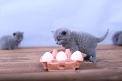 Kitten playing with eggs. Dirty farm eggs and a British Shorthair kitten running around Stock Photo