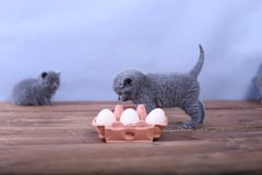 Kitten playing with eggs. Dirty farm eggs and a British Shorthair kitten running around Stock Photos