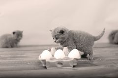 Kitten playing with eggs. Dirty farm eggs and a British Shorthair kitten running around Royalty Free Stock Photo