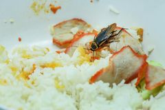 Dirty food / cockroaches eating rice food living in the kitchen at house royalty free stock photography