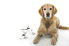 DIRTY GOLDEN RETRIEVER AND DOG, AFTER PLAY IN A MUD PUDDLE, ISOLATED AGAINST WHITE BACKGROUND. STUDIO SHOY WITH COPY SPACE. stock image