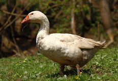 Dirty goose Stock Photography