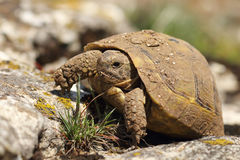Dirty greek turtoise in natural habitat. Testudo graeca, animal hatched from hibernation in early spring Royalty Free Stock Photos
