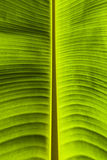 Dirty green banana leaf texture Stock Photo
