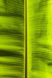 Dirty green banana leaf texture Stock Images
