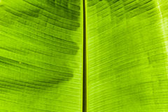 Dirty green banana leaf texture Royalty Free Stock Photo