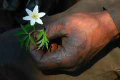 Dirty hand with white flower. Dirty hand with fresh white flower Royalty Free Stock Photography