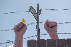 Dirty hands holding a flower behind barbed wires Royalty Free Stock Image