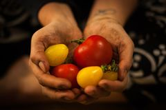 Hands holding organic vegetables. Dirty hands holding fresh organic yellow and red vegetables Royalty Free Stock Photography