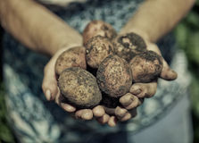 Dirty hands holding fresh potatoes Royalty Free Stock Image