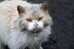 Dirty homeless street grumpy cat. The dirty homeless street grumpy cat Royalty Free Stock Photos