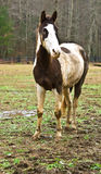 Dirty Horse in a Muddy Pasture royalty free stock image