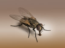 Dirty Housefly, Musca domestica on brown background Royalty Free Stock Photo