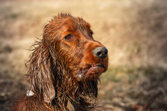 Dirty irish setter Stock Photos