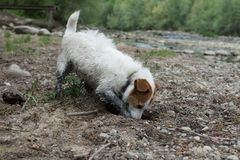 DIRTY JACK RUSSELL DOG DIGGING A HOLD IN SAND. DIRTY  AND MUDDY JACK RUSSELL DOG DIGGING A HOLD IN SAND Royalty Free Stock Images