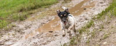 Jack russell terrier dog is running fast over a wet dirty path stock photos