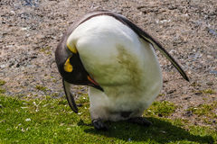 Dirty king penguin cleans its beak, feathers Stock Image