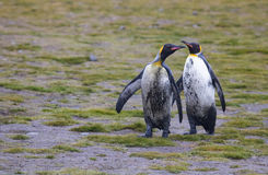 Dirty king penguins Royalty Free Stock Photography