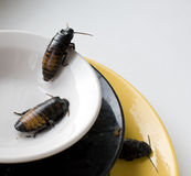 Dirty kitchen pile of filthy dishes infested with. Roaches close up Stock Photo
