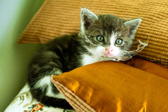 Dirty kitten Royalty Free Stock Photo