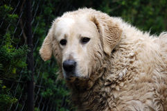 Dirty kuvasz dog portrait. Dirty hungarian kuvasz male's portrait Royalty Free Stock Images