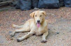 Dirty Labrador Stock Image