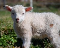 Dirty lamb Royalty Free Stock Photos