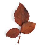 Dirty leaves rose wilt Royalty Free Stock Photography