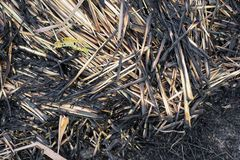 Dirty lemongrass leaves after burning on the ground Royalty Free Stock Photo