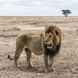 Dirty lion standing in the savannah, Serengeti, Tanzania Stock Photo
