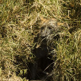 Dirty lioness hiding in the bush, Serengeti, Tanzania Stock Photography