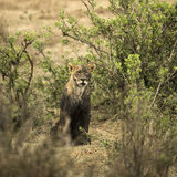 Dirty lioness sitting, Serengeti, Tanzania Royalty Free Stock Photos