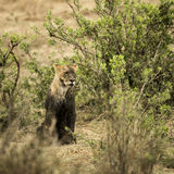 Dirty lioness sitting, Serengeti, Tanzania Stock Images