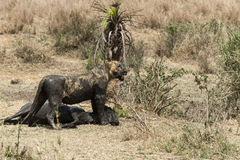 Dirty lioness standing next to its prey, Serengeti, Tanzania Royalty Free Stock Photography