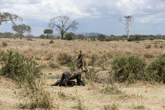 Dirty lioness standing next to its prey, Serengeti, Tanzania Stock Photos