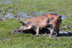Dirty little pig Stock Photo