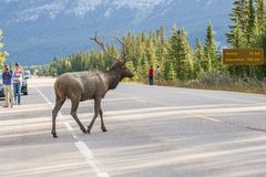 Dirty Male Elk crossing the road stock images