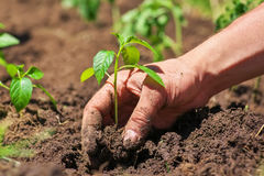 Dirty male hands and ground plant Royalty Free Stock Photo