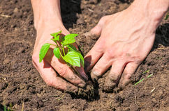 Dirty male hands and ground plant Stock Photography