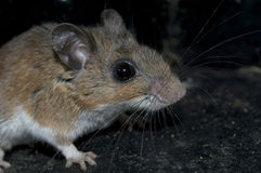 A dirty mouse is lurking in the dark. Stock Photo