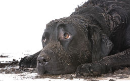 Dirty Muddy Dog Stock Photos