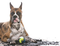 Dirty muddy dog. Dirty muddy boxer isolated on white background royalty free stock photography