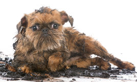 Dirty muddy dog. Dirty muddy brussels griffon isolated on white background Stock Photography