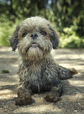 Dirty muddy dog laying down. toned photo. Soft focus Royalty Free Stock Photography