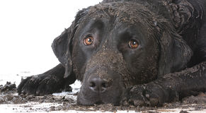 Dirty muddy dog Royalty Free Stock Image