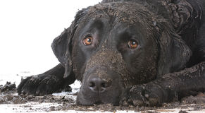 Dirty muddy dog. Laying down on white background royalty free stock photography
