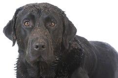 dirty muddy dog Royalty Free Stock Image