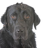 dirty muddy dog Stock Images