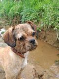 Dirty muddy little dog`s face royalty free stock photography